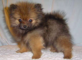 Pomeranian Puppies Brown